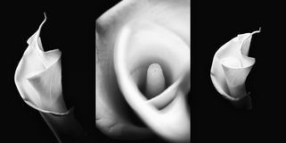 Monochrome set of callas. Set of callas flowers in black and white Stock Images