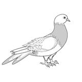 A monochrome sketch of a pigeon Stock Photography
