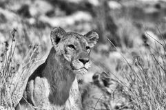 Monochrome staring lion Stock Image
