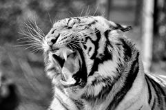 Monochrome Tiger, Panthera tigris, the largest feline species Royalty Free Stock Photos