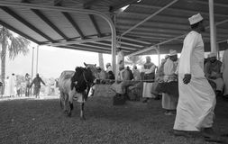 Cattle Auction. Monochrome of the traditional cattle auction that happens in Nizwa, Oman. The traditional auction happens every Friday morning in the souq near Royalty Free Stock Image