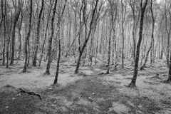 Monochrome trees with paths through them into mist Stock Images