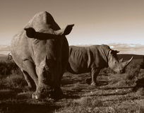 Monochrome of two white rhino. Close up of two white rhino in this unique monochrome photo of these prehistoric mammals Stock Photo