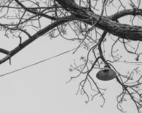 Monochrome vintage lamp hanging on the old tree, Thailand Royalty Free Stock Image
