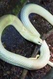 Monocle Cobra. Stock Photography