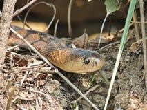 Monocled кобра Стоковая Фотография