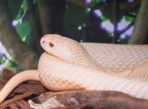 Monocled cobra (Naja Kaouthia) Stock Image