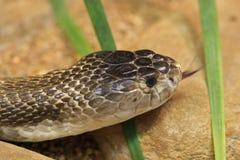 monocled kobra Royaltyfria Bilder