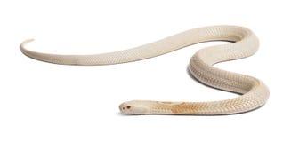 Monocled Kobra der Albinos - Naja kaouthia (giftig) stockbild