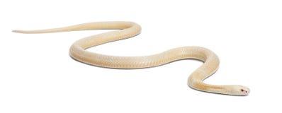 Monocled Kobra der Albinos - Naja kaouthia (giftig) stockbilder