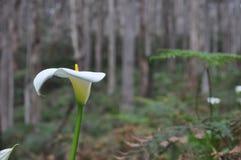 Monocotyledonous ανθίζοντας φυτά Spathiphyllum στην οικογένεια Araceae, ντόπιος στις τροπικές περιοχές της Αμερικής και νοτιοανατ Στοκ φωτογραφία με δικαίωμα ελεύθερης χρήσης