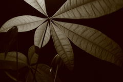 Monocromatic Money Plant Leaves B Royalty Free Stock Image