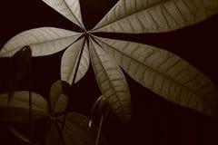 Monocromatic Money Plant Leaves B Royalty Free Stock Image