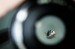 Monocromio della coccinella nella macro immagine Fotografia Stock Libera da Diritti
