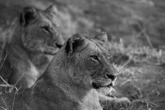 Monocromo de las leonas que miran su presa fotos de archivo