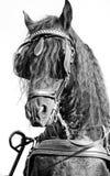 Monocromo del caballo del Frisian Imágenes de archivo libres de regalías