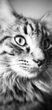 Monocromo del gato Imagenes de archivo