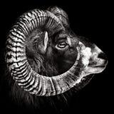 Monocromo del retrato de Mouflon imagen de archivo libre de regalías