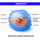 Monocyte Stock Photos