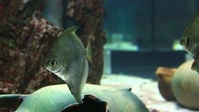 Monodactylidae en vídeo de agua dulce maravillosamente adornado de la cantidad de la acción del acuario metrajes