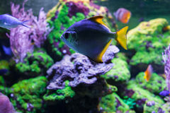 Monodactylus argenteus closeup. Monodactylus argenteus swimming under water among beautiful bright coral Royalty Free Stock Images