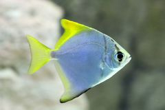 Monodactylus argenteus. Silver colorful fish-sign in the aquariu. Monodactylus argenteus. Silver fish-swallow closeup Royalty Free Stock Images