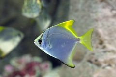 Monodactylus argenteus. Silver colorful fish-swallow floats in t. Monodactylus argenteus. Silver fish-swallow closeup Stock Photo