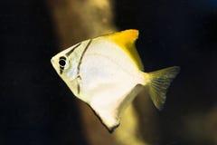 Monodactylus argenteus - Silver moony. Swimming under water Stock Photo