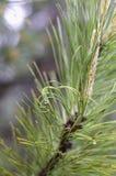 Monograma natural engraçado das agulhas em um ramo imagem de stock