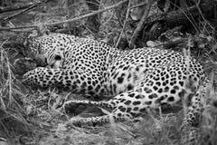 Monokrom av en manlig leopard som sover i gräs arkivbild