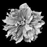 Monokrom dahlia på en svart bakgrund Arkivbilder
