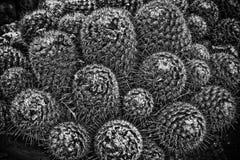 Monokrom kaktus Closup arkivbild