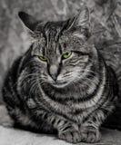 Monokrom närbild av katten med intensiva härliga gröna ögon arkivfoton