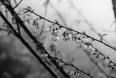 Monokrom thailändsk filial för körsbärsröd blomning Arkivfoton
