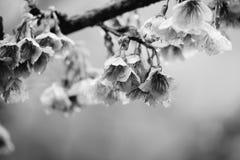 Monokrom thailändsk filial för körsbärsröd blomning Fotografering för Bildbyråer