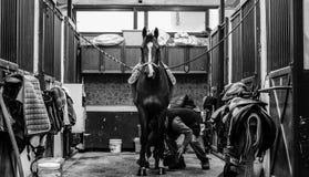 Monokromskott av en häst som sadlas av en man i en ladugård royaltyfri foto