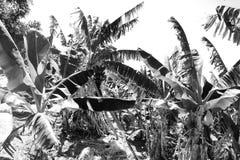Monokromt svartvitt fotografi av en banandunge royaltyfri fotografi