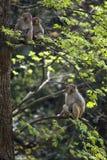 Monos foto de archivo libre de regalías