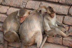 monos Imagen de archivo libre de regalías