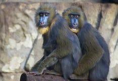 Monos azules divertidos de la cara Imagenes de archivo
