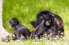 Monos de araña Fotografía de archivo libre de regalías