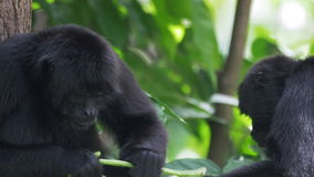 monos de araña Brown-dirigidos - alimentación del primer - 4k almacen de video