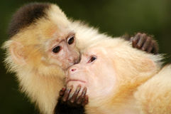Monos de araña cariñosos foto de archivo libre de regalías