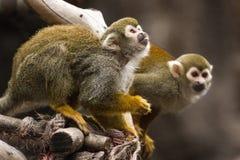 Monos de ardilla Imagenes de archivo