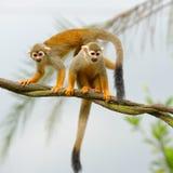 Monos de ardilla curiosos Imágenes de archivo libres de regalías