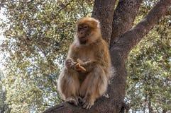 Monos de Barbary en Cedar Forest cerca de Azrou, Marruecos septentrional, África Imágenes de archivo libres de regalías