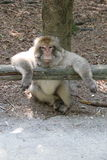 Monos de Bodensee, año 2013 imagenes de archivo