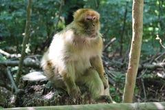Monos de Bodensee, año 2013 imagen de archivo