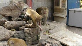 Monos de Brown que beben el agua del grifo durante verano almacen de video
