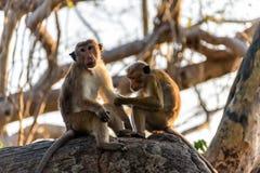 Monos de capo foto de archivo libre de regalías